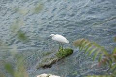 Uccello bianco con un becco nero snello Immagini Stock