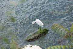Uccello bianco con un becco nero snello Fotografia Stock
