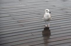 Uccello bianco del gabbiano che cammina su un pilastro di legno Immagini Stock