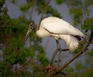 Uccello bianco dell'airone immagini stock