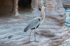 Uccello bianco dell'airone che sta al canale del bordo Fotografia Stock