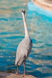 Uccello bianco dell'airone che sta al canale del bordo Fotografie Stock Libere da Diritti