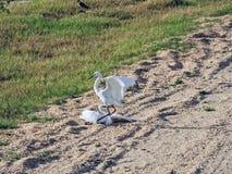 Uccello bianco dell'airone in Sri Lanka Fotografia Stock