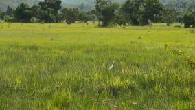 Uccello bianco dell'egretta nel campo verde stock footage