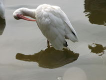 Uccello bianco dell'Ibis immagini stock
