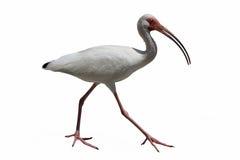 Uccello bianco dell'ibis su bianco Fotografie Stock Libere da Diritti