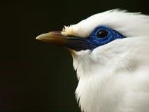 Uccello bianco dell'occhio azzurro (Bali Starling) Fotografie Stock