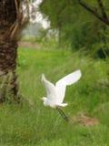 Uccello bianco della gru durante il volo Fotografie Stock Libere da Diritti
