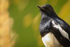 Uccello bianco e nero Fotografia Stock Libera da Diritti