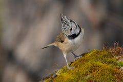 Uccello in bianco e nero in fauna selvatica Fotografia Stock Libera da Diritti