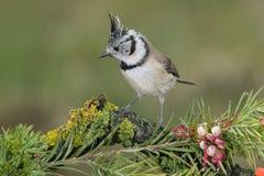 Uccello in bianco e nero in fauna selvatica Immagini Stock Libere da Diritti