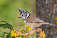 Uccello in bianco e nero in fauna selvatica Fotografie Stock Libere da Diritti