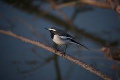 Uccello in bianco e nero sul ramo Immagine Stock