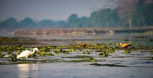 Uccello bianco in fiume Fotografia Stock Libera da Diritti