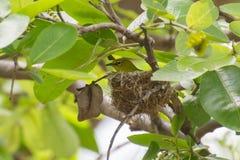 Uccello bianco orientale dell'occhio nel nido Fotografia Stock Libera da Diritti