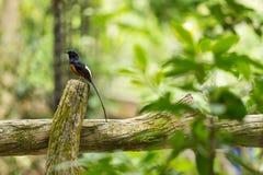 Uccello Bianco-Romped di shama Fotografia Stock Libera da Diritti