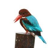 uccello Bianco-throated del martin pescatore Immagini Stock