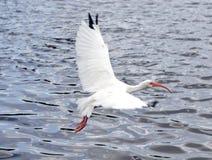 Uccello bianco in volo sopra acqua Fotografia Stock