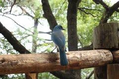 Uccello blu Immagine Stock