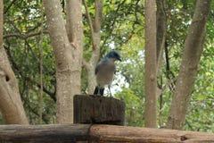 Uccello blu Fotografia Stock