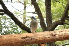 Uccello blu Immagini Stock Libere da Diritti