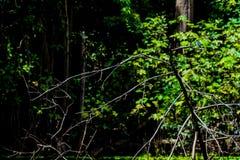 Uccello blu in Amazon vicino a Iquitos, Perù fotografia stock libera da diritti