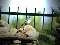 Uccello blu appollaiato su una roccia nelle prime ore del mattino Fotografia Stock Libera da Diritti