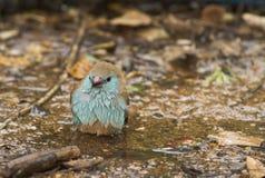 Uccello Blu-breasted di Cordonbleu Fotografia Stock