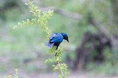 Uccello blu che appende un ramo, uccello all'albero, fauna selvatica immagine stock