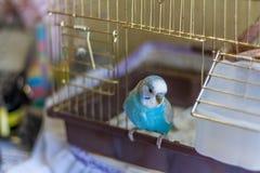 Uccello blu del budgie sulla gabbia Fotografia Stock Libera da Diritti