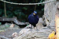 Uccello blu del Fischiare-tordo Fotografie Stock