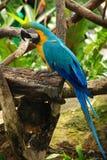Uccello blu del macaw Immagine Stock