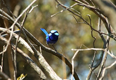 Uccello blu del Wren Fotografie Stock Libere da Diritti