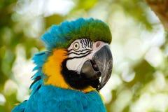 Uccello blu dell'ara Immagine Stock