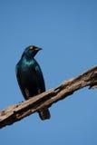 Uccello blu dello storno fotografia stock libera da diritti