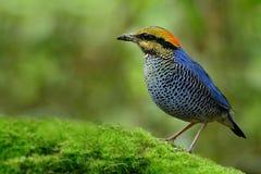 Uccello blu di Pitta Hydrornis del fascinatedl blu di cyaneus giallo e immagini stock