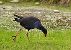 Uccello blu di Pukeko, Nuova Zelanda fotografia stock libera da diritti