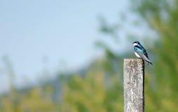 Uccello blu e bianco sulla posta Fotografia Stock