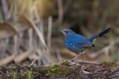 Uccello blu minuscolo sveglio nella foresta dell'altopiano fotografia stock libera da diritti