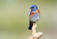 Uccello blu occidentale fotografia stock