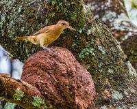 Uccello brasiliano Rufous di Hornero - uccello brasiliano diJoao-de-Barro sul nido con gli insetti nel becco immagine stock