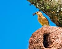 Uccello brasiliano Rufous di Hornero - uccello brasiliano diJoao-de-Barro sul nido con gli insetti nel becco fotografia stock libera da diritti