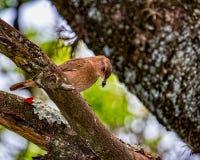 Uccello brasiliano Rufous di Hornero - uccello brasiliano diJoao-de-Barro sul ramo con gli insetti nel becco fotografia stock libera da diritti