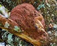 Uccello brasiliano Rufous di Hornero - uccello brasiliano diJoao-de-Barro sulla porta del nido con gli insetti nel becco immagini stock libere da diritti