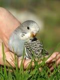 Uccello - Budgeriegar Fotografia Stock