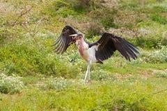 Uccello calvo della cicogna di marabù che tiene giovane pulcino in suo becco al parco nazionale di Serengeti in Tanzania, Africa  fotografie stock