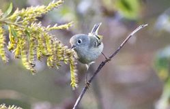 Uccello canoro di Ruby Crowned Kinglet, Walton County, Georgia U.S.A. immagine stock