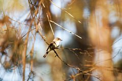 Uccello in canto dell'albero Immagini Stock