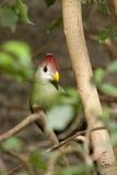 Uccello capo rosso Fotografia Stock