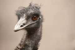 Uccello capo Scraggly del emu Fotografia Stock